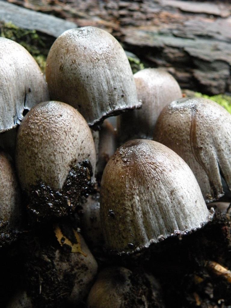 hongos en las faldas del volcan llaima